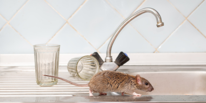 Our effective rodent removal services