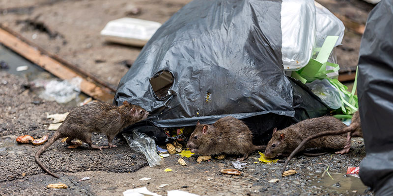 Proactive Rodent Control: How to Keep Rodents Out of Your Home